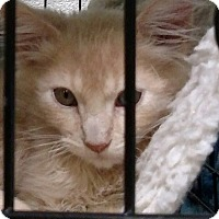 Adopt A Pet :: Amber - Yuba City, CA