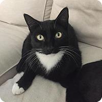 American Shorthair Cat for adoption in Naugatuck, Connecticut - Mac