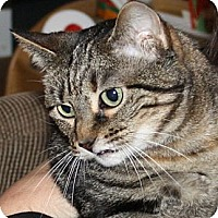 Domestic Shorthair Cat for adoption in Coppell, Texas - Aura