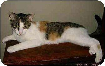 Calico Kitten for adoption in Cleveland, Ohio - Little Pumpkin