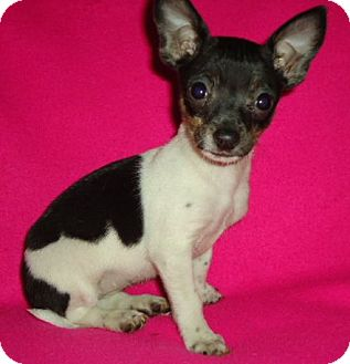 Chihuahua Mix Puppy for adoption in Allentown, Pennsylvania - Macy