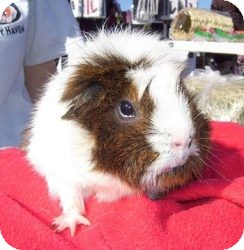 Guinea Pig for adoption in Fullerton, California - Penny