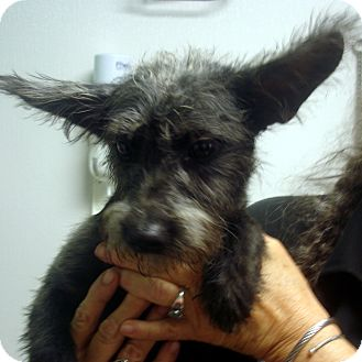 Schnauzer (Miniature) Mix Dog for adoption in baltimore, Maryland - Ginny