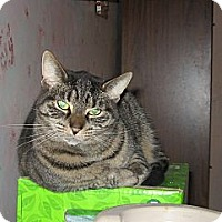 Domestic Shorthair Cat for adoption in Toronto, Ontario - Princess - Foster