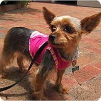 Adopt A Pet :: Jolie - Miami, FL