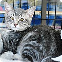 Adopt A Pet :: Snicker Doodle - Temecula, CA