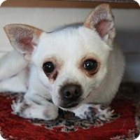 Chihuahua Mix Puppy for adoption in Studio City, California - Benny