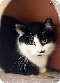 Domestic Shorthair Cat for adoption in Dalton, Georgia - Sassy
