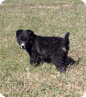 Border Collie/Shepherd (Unknown Type) Mix Puppy for adoption in Kyle, South Dakota - Cosmo