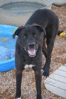 Mastiff/Labrador Retriever Mix Dog for adoption in Jewett City, Connecticut - Elliot The Huge Black Dog