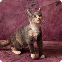 Adopt A Pet :: Abby - Harrisonburg, VA