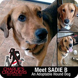 Bloodhound/Hound (Unknown Type) Mix Dog for adoption in Spring City, Pennsylvania - Sadie B