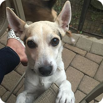 rat terrier australian cattle dog mix pepe adopted dog saddle brook nj rat terrier 8714