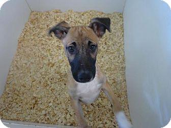 Terrier (Unknown Type, Medium) Mix Puppy for adoption in Cherry Hill, New Jersey - Alex