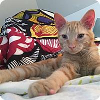 Adopt A Pet :: Cheddar - Chesapeake, VA