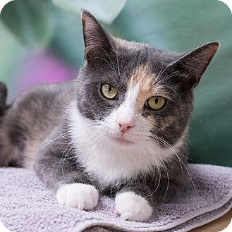 Domestic Shorthair Cat for adoption in Houston, Texas - Jade