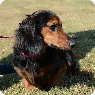 Dachshund Mix Dog for adoption in Hopkinsville, Kentucky - Chief