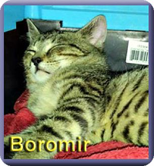 Domestic Shorthair Kitten for adoption in Aldie, Virginia - Boromir
