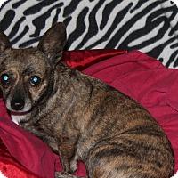 Adopt A Pet :: Shekera - Ridgecrest, CA