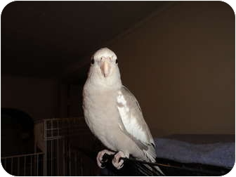 Cockatiel for adoption in Vancouver, Washington - Sweet Baby Hand Fed Cockatiel