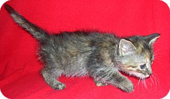 Domestic Shorthair Kitten for adoption in Yakima, Washington - Rez Kitten #4