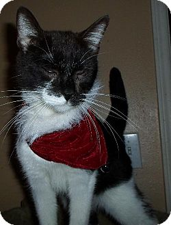 Domestic Shorthair Cat for adoption in Cypress, Texas - Sugar Bee