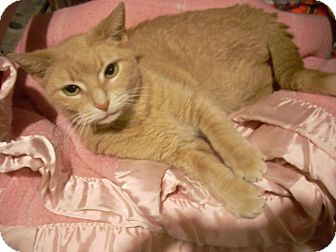 Domestic Shorthair Cat for adoption in Chicago, Illinois - Mickie