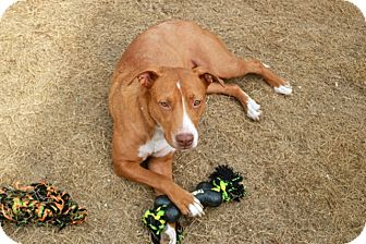 American Pit Bull Terrier/Labrador Retriever Mix Dog for adoption in Homewood, Alabama - Evie