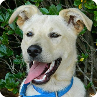 Labrador Retriever Mix Dog for adoption in McCormick, South Carolina - Bart