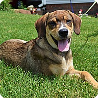 Adopt A Pet :: *Juno - PENDING - Westport, CT