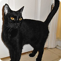 Adopt A Pet :: Black Beauty - Chattanooga, TN