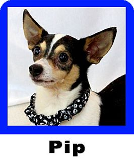 Chihuahua/Rat Terrier Mix Dog for adoption in Wichita Falls, Texas - Pip