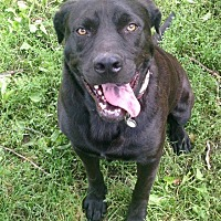 Labrador Retriever/Pit Bull Terrier Mix Dog for adoption in Rochester, Michigan - Dexter