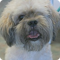 Shih Tzu/Terrier (Unknown Type, Small) Mix Dog for adoption in Canoga Park, California - Monte