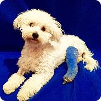 Adopt A Pet :: Finnegan - Encino, CA