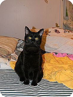 Domestic Shorthair Cat for adoption in Germantown, Maryland - Valentino