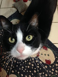 Domestic Shorthair Cat for adoption in Middletown, New York - Rosie
