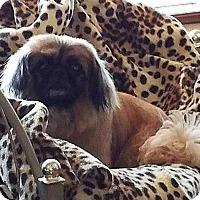 Adopt A Pet :: Spice - Encino, CA