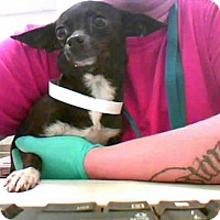 Adopt A Pet :: GIDGET - Conroe, TX