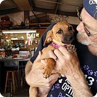 Adopt A Pet :: BREEZIE - Lubbock, TX