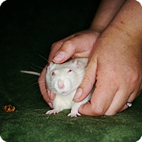 Rat for adoption in Welland, Ontario - Polly