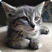 Domestic Shorthair Kitten for adoption in Shakopee, Minnesota - Bear C1413