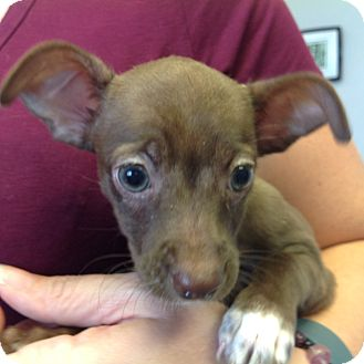 Dachshund/Chihuahua Mix Puppy for adoption in PHOENIX, Arizona - Amelia