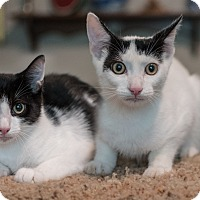 Domestic Shorthair Kitten for adoption in Staten Island, New York - Vance and Vinny