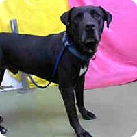Pit Bull Terrier Mix Dog for adoption in San Bernardino, California - URGENT 8/29 @ DEVORE