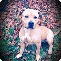 Adopt A Pet :: Simba - Cherry Valley, NY