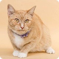 Domestic Shorthair Cat for adoption in Wyandotte, Michigan - Charm