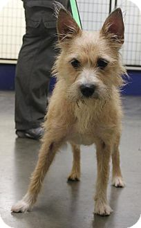 Terrier (Unknown Type, Medium) Dog for adoption in Nixa, Missouri - Boots # 977