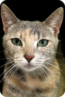 Domestic Shorthair Cat for adoption in Portland, Oregon - Leilani