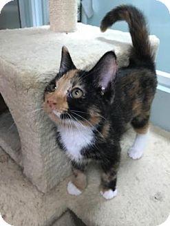 Domestic Shorthair Kitten for adoption in Titusville, Florida - Nala